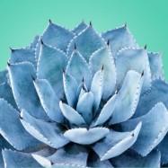 Голубая агава 10 мл
