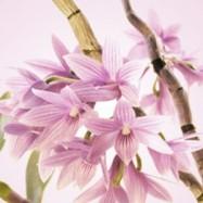 Цветок риса и ши 10 мл